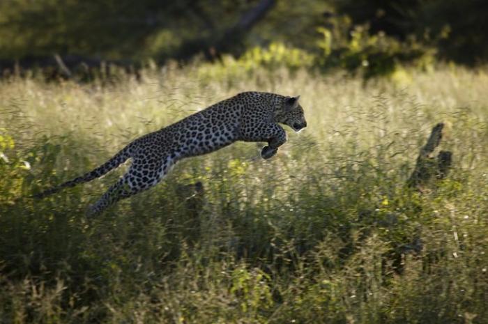 Дикая природа африки в работах beverly