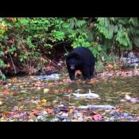 Медведи объедаются лососем
